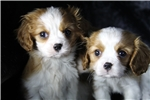 Picture of All Cavaliers Fully Trained w/ 4 Year Warranty!