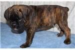 Picture of Norris - Full European Male Brindle Boxer Puppy
