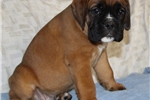 Picture of Niles - Full European Male Fawn Boxer Puppy