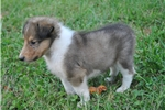 Picture of AKC CHAMPION BLOODLINES COLLIE PUPPY