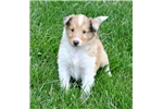 Picture of AKC Rough Collie Champion Bloodlines ~ Home Raised