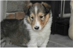 Picture of AKC CHAMPION BLOODLINES COLLIE MALE
