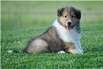Picture of AKC Rough Collie Champion Bloodlines ~ RESERVED