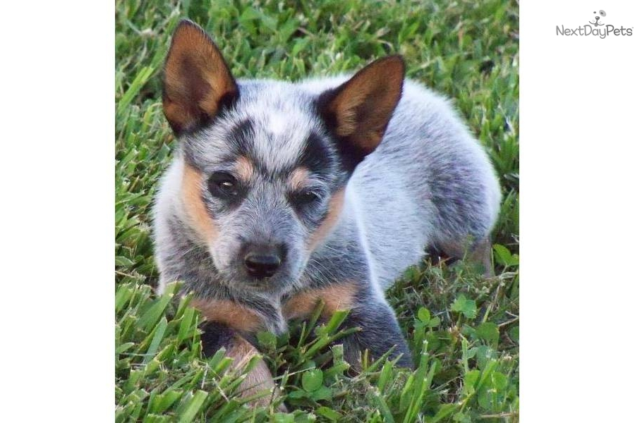 Miniature Blue Heeler Dog/blue heeler puppy