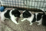 Picture of AKC Papillon puppies
