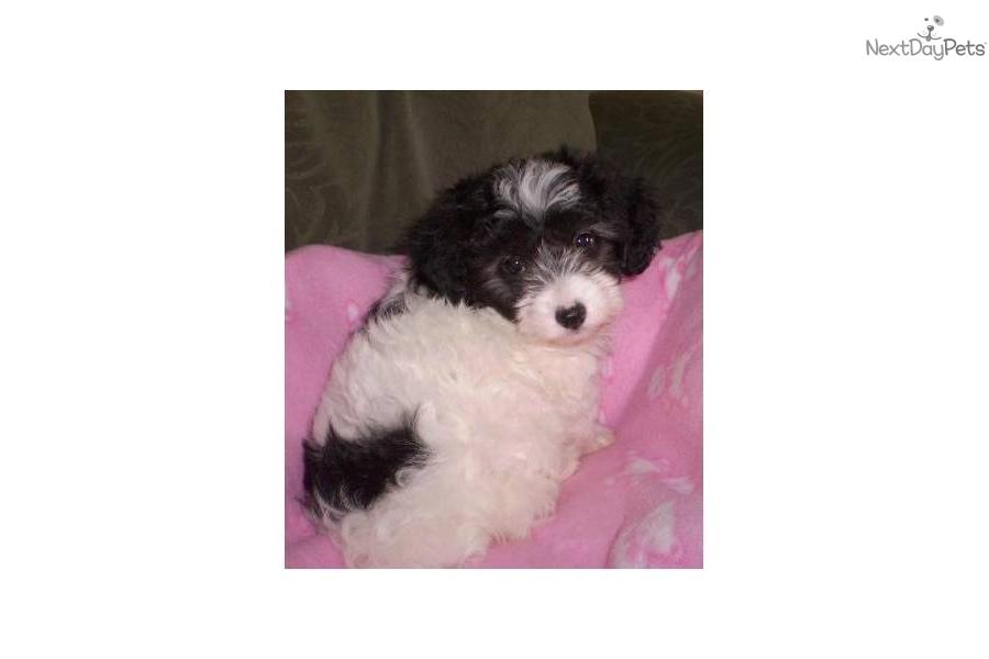 Havanese Puppies For Sale New York City