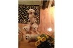 Picture of DCDogFinders  Small puppy breeders In home, privat
