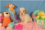 Maggie Virginia Cavachon Breeder  | Puppy at 12 weeks of age for sale