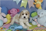 Picture of SCOUT Cavachon Puppy   of Virginia