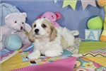 Picture of Fisher Cavachon Puppy   of Virginia