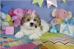 Picture of GRACIE  Cavachon Puppy   of Virginia