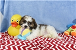 Picture of BUGSY  LHASA Apso Bichon  Puppy  in Virginia