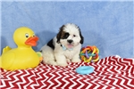 Picture of HARLEY  LHASA Apso Bichon  Puppy  in Virginia