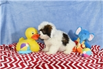 Picture of MUGSY  LAHASA Apso Bichon  Puppy  in Virginia