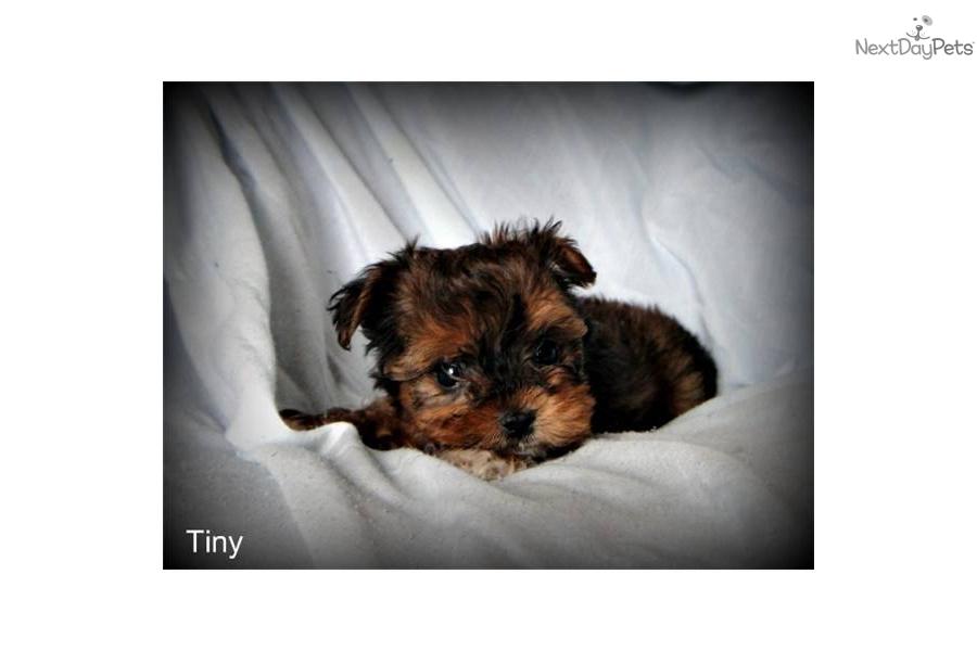 Xoloitzcuintli+Puppies+For+Sale Xoloitzcuintli puppy for sale near ... Xoloitzcuintli For Sale In California