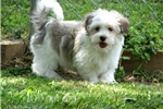 Picture of 5 Yr Guarantee, Adorable Havanese