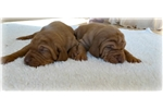 Picture of Vizsla's , 5 year Guarantee.