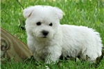 Picture of Adorable Westie Poos'