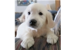 Picture of In'l & Nat'l AKC Ch Ped.100% Eng. Golden Ret.Fe