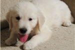 Picture of In'l & Nat'l AKC Ch Ped.100% Eng. Golden Ret.male
