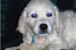 Picture of In'l & Nat'l AKC Ch Ped.100% Eng Gldn Ret Male