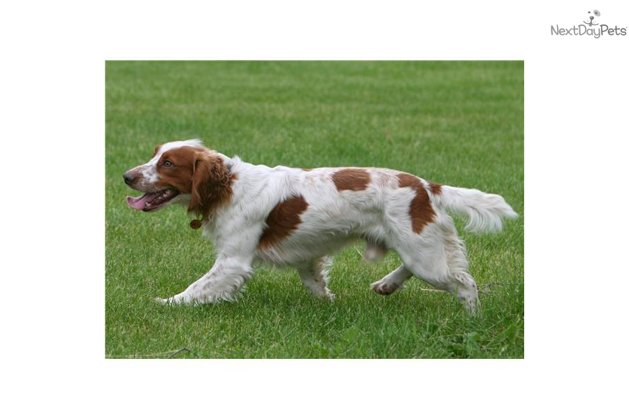 Meet Rocky A Cute English Cocker Spaniel Puppy For Sale