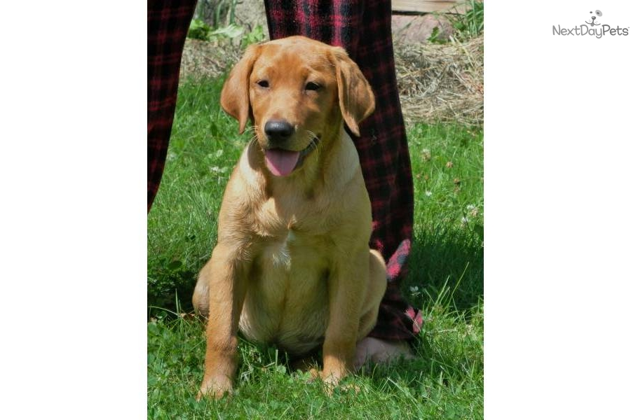 Akc Lab Puppies Is A Female Labrador Retriever Puppy For ...