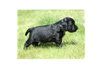 Picture of an English Cocker Spaniel Puppy