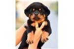 Rottweiler for sale