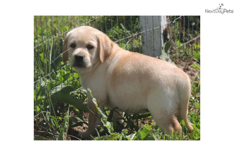 Labrador Retriever for sale for $1,200, near Hampton Roads, Virginia ...
