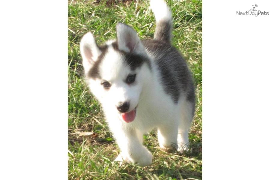 Siberian Husky puppy for sale near - 223.0KB