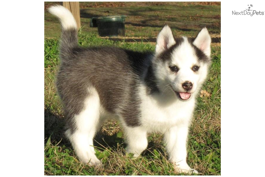 Siberian Husky puppy for sale near - 285.1KB