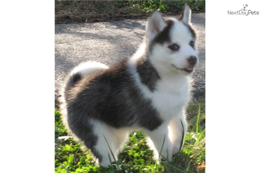 Siberian Husky puppy for sale near - 221.9KB