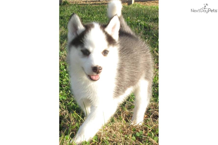 Siberian Husky puppy for sale near - 197.8KB