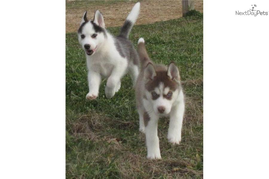 Siberian Husky puppy for sale near - 205.9KB