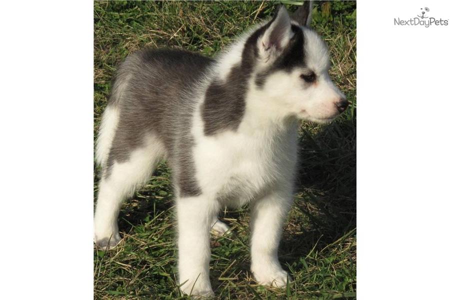 Siberian Husky puppy for sale near - 249.3KB