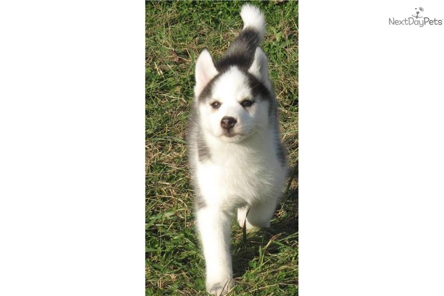 Siberian Husky puppy for sale near - 182.4KB
