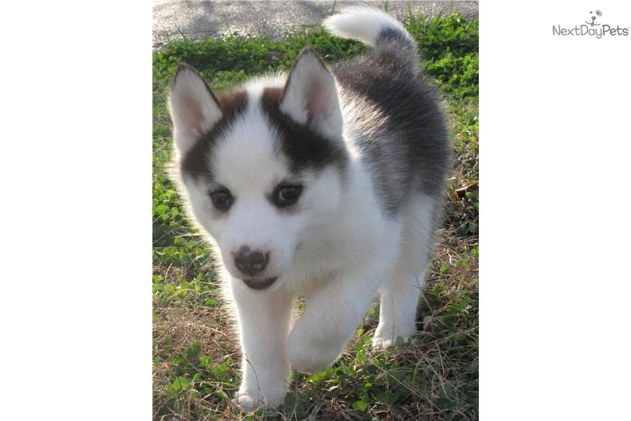 Siberian Husky puppy for sale near - 220.3KB