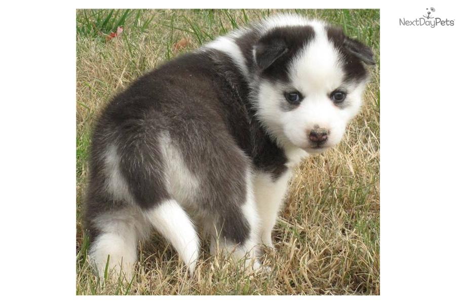 Siberian Husky puppy for sale near - 276.4KB