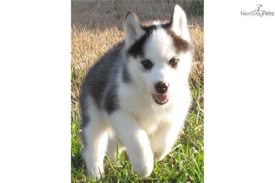 Siberian Husky puppy for sale near - 181.3KB