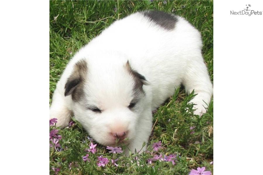 Husky Dog For Sale Maryland