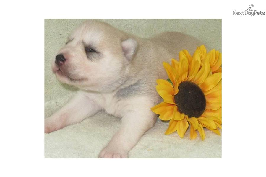 sable--white-female-husky-puppy-for-sale-mddog-siberian-husky-puppy