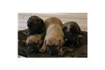 Picture of a Black Mouth Cur Puppy