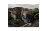 Picture of Dolly'sLight Brindle Male