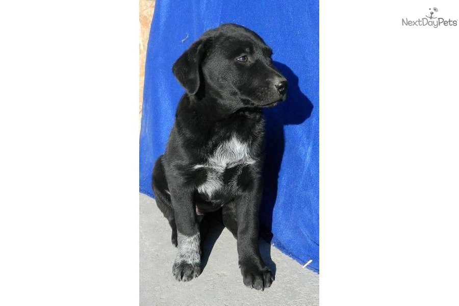Retriever puppy for sale for 350 echo female lab blue heeler mix