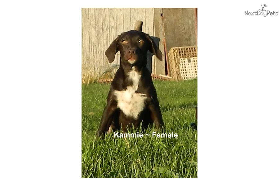 Kammie Lab/Pointer Mix | Labrador Retriever puppy for sale near ...
