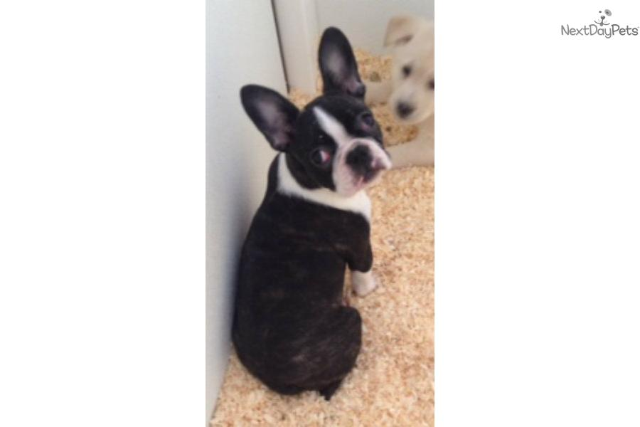 singles in frenchton Boston terrier breeders in australia and new zealand includes details of puppies for sale from registered ankc breeders.