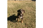 Picture of NALC Registered Catahoula