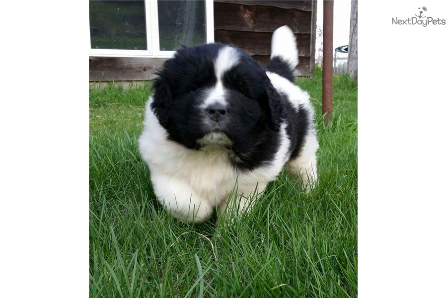 Newfoundland Dogs For Sale Mn