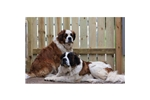 Featured Breeder of Saint Bernard St Bernards with Puppies For Sale